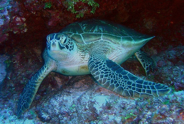 green-sea-turtle-79945_640.jpg