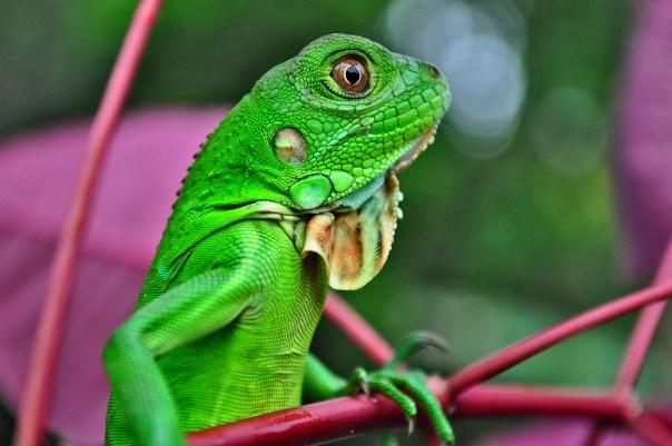 iguana-604x401.jpg